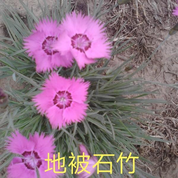 五彩石竹,地被石竹,常夏石竹,绿化花卉