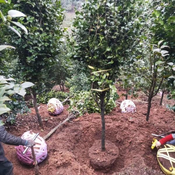 云南茶花批发,湖南茶花品种有哪些,武汉茶花市场报价