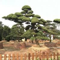 长飘精品造型罗汉松,35公分精品造型日本罗汉松,浏阳精品造型罗汉松哪里多