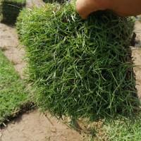 大叶油草种繁育基地 大叶油草种供应价格