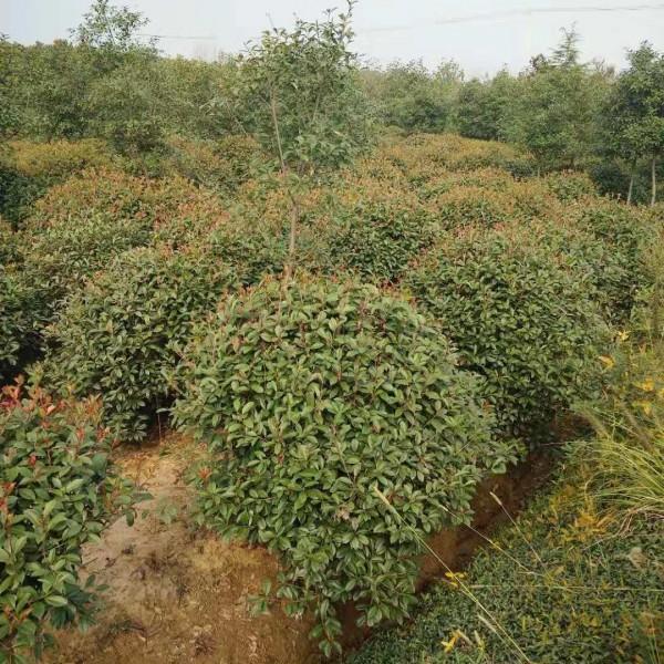 江苏红叶石楠工程苗培育基地 红叶石楠树苗批发价格