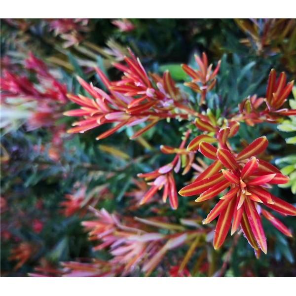 木兰科种苗育苗基地,大型珍稀植物培育种植