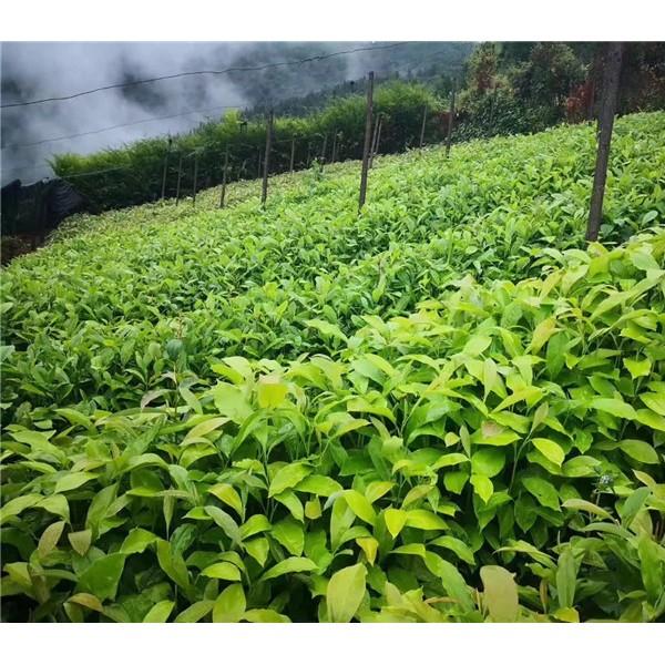 木兰科植物育苗基地,大型木兰科植物培育种植