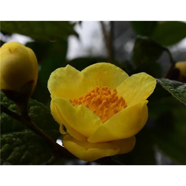 木兰科种子育苗基地,大型木兰科种子培育种植