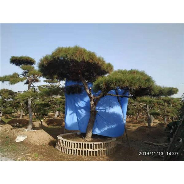 莱芜景观松供应价格 莱芜景观松繁育基地