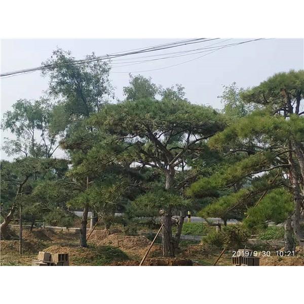 莱芜造型景观松供应价格 莱芜造型景观松繁育基地