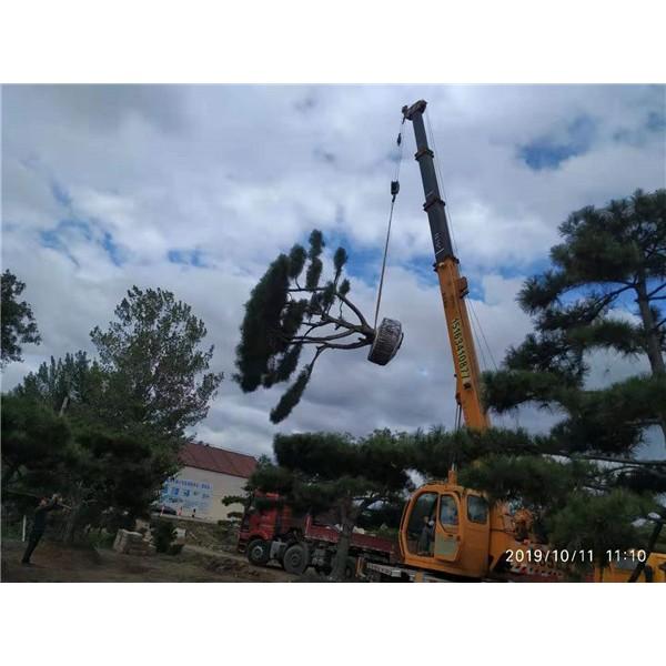 莱芜造型黑松供应价格 莱芜造型黑松繁育基地