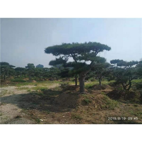 莱芜造型油松繁育基地 莱芜造型油松供应价格