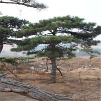 莱芜造型松供应价格 莱芜造型松繁育基地