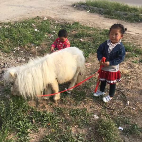 国产矮马的价格,哪里有出售矮马的,矮马的价格