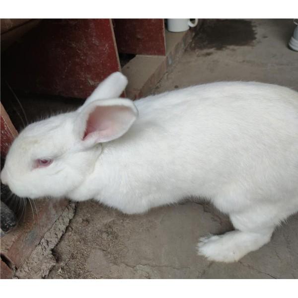 江西杂交种兔繁育基地    四川新西兰种兔养殖场