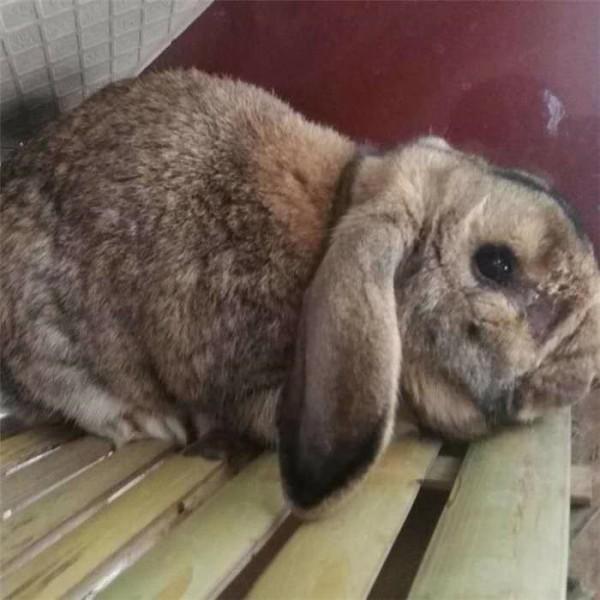 湖南公羊种兔养殖   陕西公羊种兔繁育场