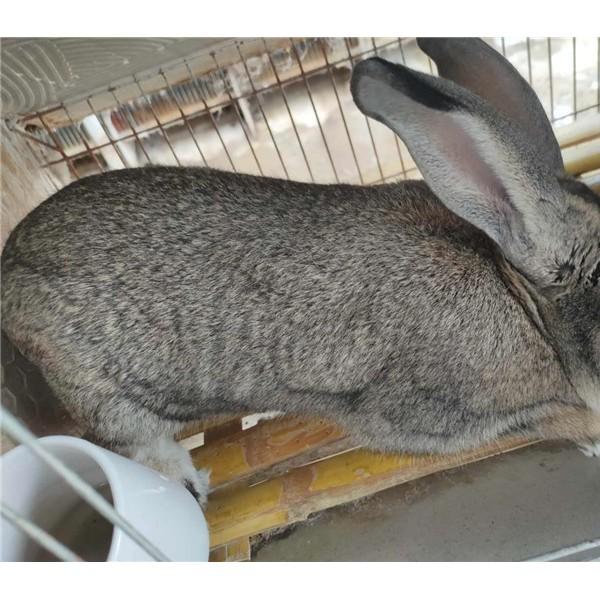陕西杂交肉兔繁育场  杂交肉兔养殖前景
