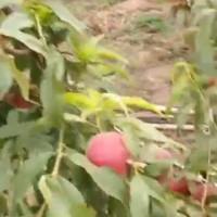 515早油桃