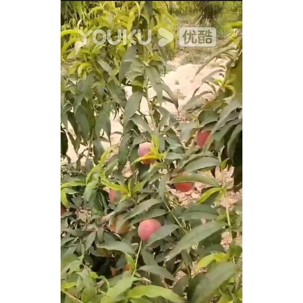 金魁巨桃观果会