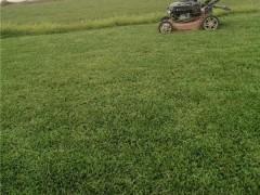 中山夏威夷草皮繁育基地 中山夏威夷草皮供應價格