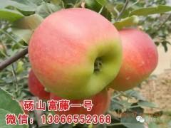 富藤金果及富藤1号新苹果品种发展的独特优势