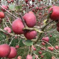 昭通嫁接苹果树苗供应价格 昭通嫁接苹果树苗繁育基地