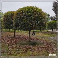 桂花苗木种植基地