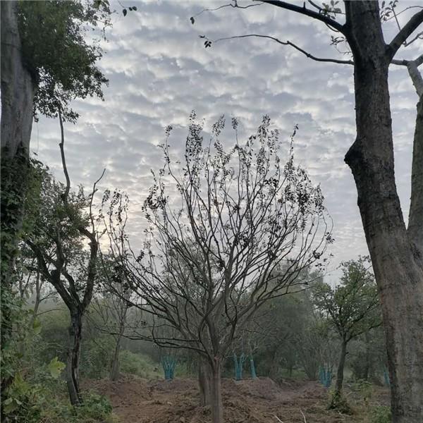 安徽单杆朴树培育基地 安徽单杆朴树供应价格