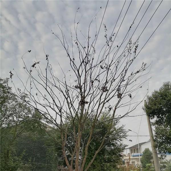 滁州多杆丛生朴树供应价格 滁州多杆丛生朴树培育基地