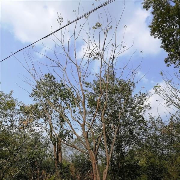 滁州单杆朴树培育基地 滁州单杆朴树供应价格