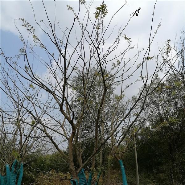 滁州多杆丛生朴树培育基地 滁州多杆丛生朴树供应价格