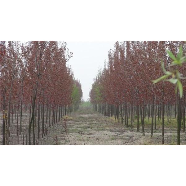 商丘一代中红杨供应批发 商丘一代中红杨培育基地