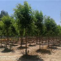 上海刺槐树苗供应价格 上海刺槐树苗培育基地