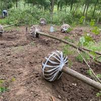 安徽刺槐树苗供应价格 安徽刺槐树苗培育基地