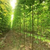 安徽刺槐树苗培育基地 安徽刺槐树苗供应价格