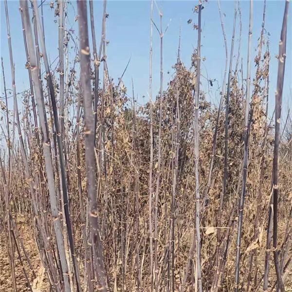 河北绿叶复叶槭培育基地 河北绿叶复叶槭供应价格