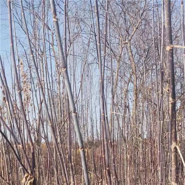 保定绿叶复叶槭供应价格 保定绿叶复叶槭培育基地