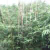 四川琴丝竹苗培育基地 四川琴丝竹苗供应价格
