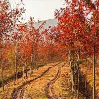 美國紅橡樹培育基地 美國紅橡樹批發價格