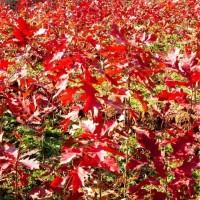 紅橡樹樹苗批發價格 紅橡樹樹苗培育基地