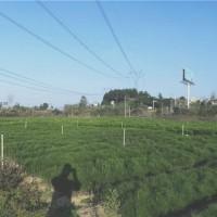 孝感濕地松苗供應價格 孝感濕地松苗培育基地