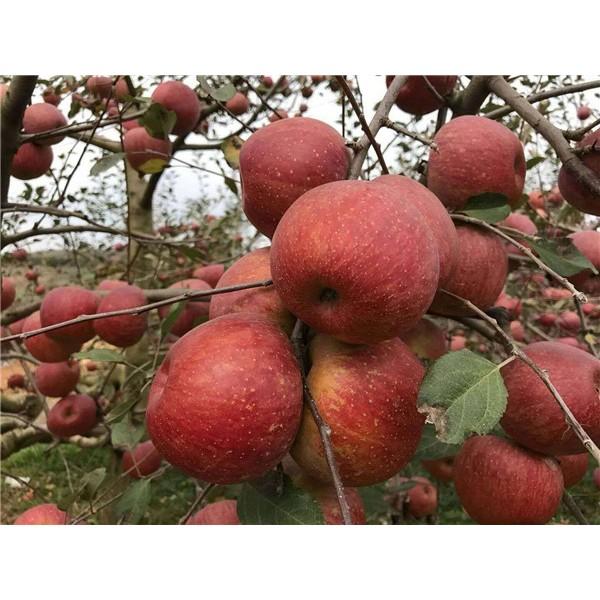 苹果苗,2.5元一颗,500颗起批1