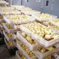 鹅苗展示●严格防疫●专业孵化●价格优惠●技术过硬