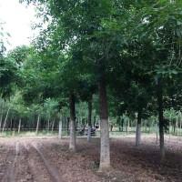 滨州107杨树基地