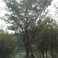高杆樱花树苗种植基地,工程樱花树苗批发价格