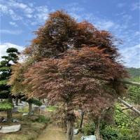 庭院羽毛枫树批发价格,高杆羽毛枫树苗种植基地