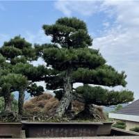 庭院大阪松盆景种植基地,大阪松盆景小苗批发价格