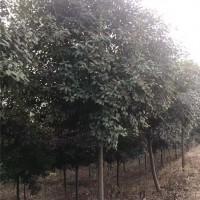 优质红叶石楠苗基地 红叶石楠苗批发基地