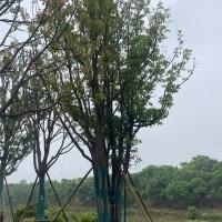 容器香樟批发基地 容器香樟供应基地