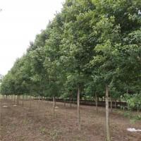 山东丛生红叶复叶槭价格 山东红叶复叶槭种苗基地